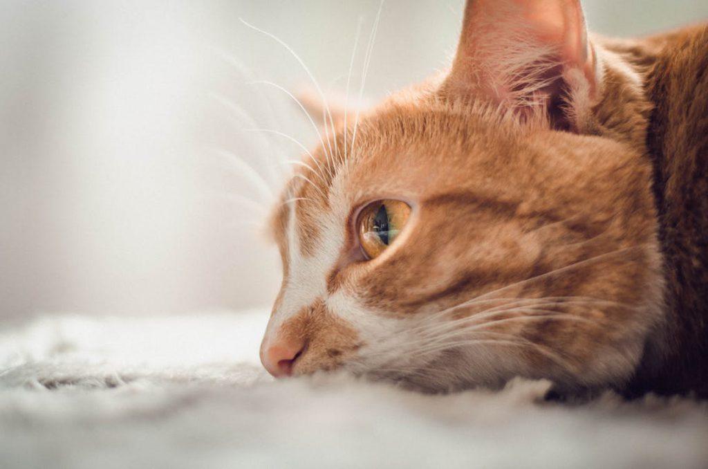 綺麗な目をした茶トラ猫