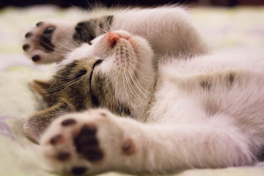バンザイをして仰向けに眠る猫